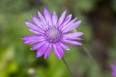 Xeranthemum annuum, immortelle éternel annuel en fleur image stock