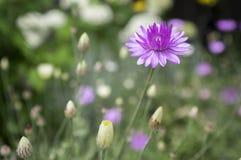 Xeranthemum annuum, immortelle éternel annuel en fleur photo stock