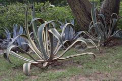 Xeriscape Garden in Caracas Venezuela Royalty Free Stock Photography