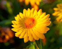 Xerochrysum bracteatum Royalty Free Stock Images