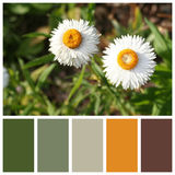 Xerochrysum bracteatum with complimentary colour swatches Royalty Free Stock Photo