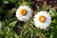 Xerochrysum bracteatum ( golden everlasting or strawflower) Stock Photography