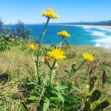 Xerochrysum Bracteatum. Gorgeous yellow paper daisies found on the headland Stock Photography