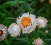 Xerochrysum bracteatum Helichrysum stock photography