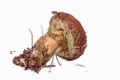 Xerocomus badius mushroom isolated on white. Background Royalty Free Stock Photo
