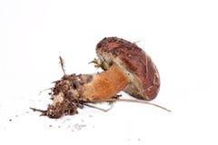 Xerocomus badius mushroom isolated on white Stock Image