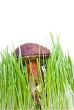 Xerocomus badius mushroom isolated on white. Background Stock Images