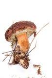 Xerocomus badius  mushroom isolated on white. Background Stock Photography