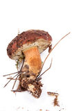 Xerocomus badius  mushroom isolated on white Stock Photography