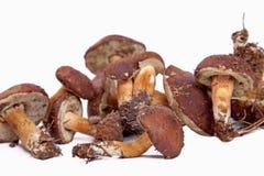 Xerocomus badius mushrooms isolated on white. Background Royalty Free Stock Images