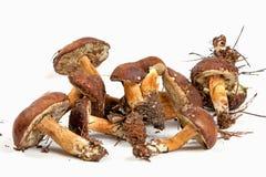 Xerocomus badius mushrooms isolated on white. Background Royalty Free Stock Photo