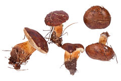 Xerocomus badius mushrooms isolated on white. Background Stock Photo