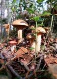 Xerocomus dichte omhooggaand onder het gras, de takjes en het mos De zonnige herfst royalty-vrije stock fotografie