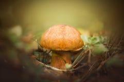 Xerocomus eatable mushroom. Xerocomus eatable delicious red mushroom stock photo