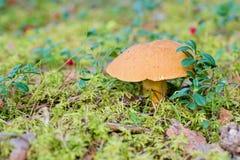 Xerocomus growing on forest. Edible mushroom. Xerocomus growing on forest in moss on autumn day Stock Image