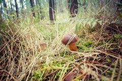 Xerocomus mushroom Royalty Free Stock Photography