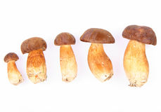 Xerocomus mushrooms Royalty Free Stock Images