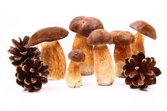 Xerocomus mushrooms Royalty Free Stock Photo