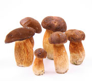 Xerocomus mushrooms Royalty Free Stock Image