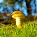 Xerocomus submentosus mushroom Royalty Free Stock Image