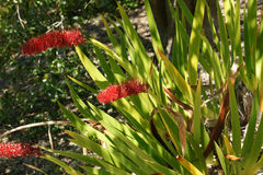 Xeronema callistemon, Poor Knights Lily Stock Photos