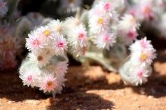 Xerophytic installatie in de zandige Woestijn Namib. Stock Fotografie