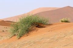 Xerophytic installatie (horrida Acanthosicyos) in zandige Namib Dese stock foto