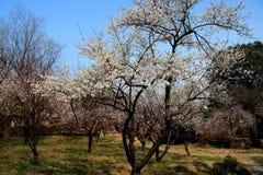 Free Xiangxuehai Plum Garden,Suzhou,Jiangsu ,China Royalty Free Stock Image - 50320296
