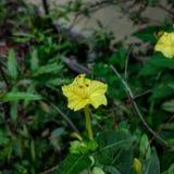 xiaomi mi5 dell'erba gialla del fiore bello Immagine Stock Libera da Diritti