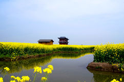 Xinghua canola flower Royalty Free Stock Photos