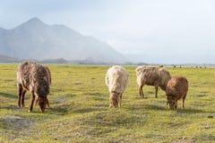 XINJIANG, CHINA - 20 de maio de 2015: Carneiros no lago Karakul um l famoso Foto de Stock Royalty Free