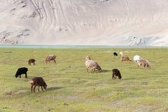 XINJIANG, CHINA - 20 de maio de 2015: Carneiros no lago Karakul um l famoso Fotos de Stock Royalty Free