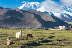 XINJIANG, CHINA - 21 de maio de 2015: Carneiros no lago Karakul um l famoso Fotografia de Stock