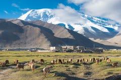 XINJIANG, CHINA - 21 de mayo de 2015: Ovejas en el lago karakul un l famoso Foto de archivo