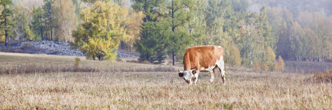 Xinjiang, china: grazing cow Royalty Free Stock Image