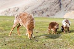 XINJIANG, CHINA - 20. Mai 2015: Schafe am Karakul See ein berühmtes L Lizenzfreies Stockfoto