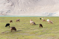 XINJIANG, CHINA - 20. Mai 2015: Schafe am Karakul See ein berühmtes L Lizenzfreie Stockfotos