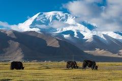 XINJIANG, CHINA - May 21 2015: Yak at Karakul Lake. a famous lan. Dscape on the Karakoram Highway in Pamir Mountains, Akto County,Kizilsu Kirghiz Autonomous Stock Photos