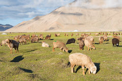 XINJIANG, CINA - 21 maggio 2015: Pecore nel lago karakul una l famosa Immagini Stock