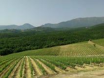 Xinomavro in de wijngaarden Griekenland Stock Foto's