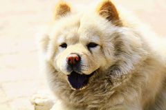 Chow chow. A close-up of a chow chow Stock Photography