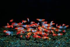 Xiphophorus剑尾鱼鱼 库存照片