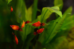 Xiphophorus maculatus鱼 免版税图库摄影