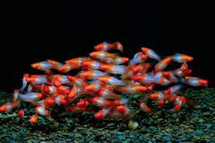 Xiphophorus helleri fish Red and white royalty free stock image