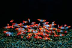 Xiphophorus helleri fish stock photo