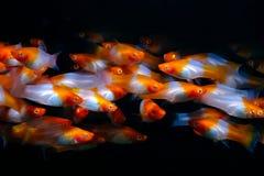 Xiphophorus helleri Red and white. Xiphophorus helleri in the aquarium stock photos