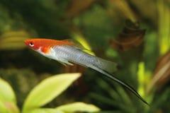 Xiphophorus hellerii lizenzfreie stockbilder
