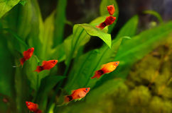 Xiphophorus maculatus fish Stock Photography