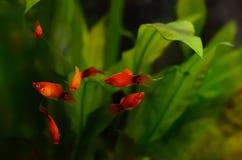 Xiphophorus maculatus fish. In the aquarium royalty free stock photography