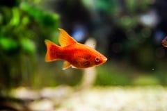 Xiphophorus maculatus. Red Xiphophorus maculatus in an aquarium royalty free stock photography